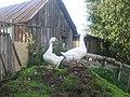 Goose - panoramio.jpg