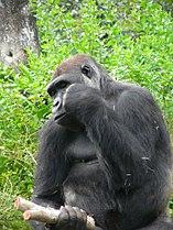 Gorilla gorilla gorilla5.jpg