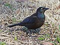 Grackle, Common Ash2011.jpg
