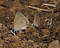 Gram Blue (Euchrysops cnejus) mud-puddling in Kawal, AP W IMG 1783.jpg