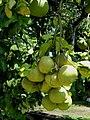 Grappefruits on Epau Village - panoramio.jpg