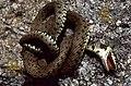 Grass Snake (Natrix natrix) feigning death ... (35592059924).jpg