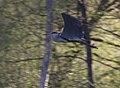 Graureiher im Flug.jpg