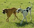Great Danes harlequin and fawn.jpg