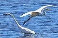 Great Egret (207418709).jpeg