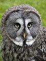 Great Grey Owl 2 (4570453977).jpg