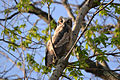 Great Horned Owl Owlet (Bubo virgianus) (14040547575).jpg