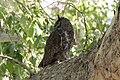 Great Horned Owl Portal AZ 2018-05-10 09-38-45 (29961427108).jpg