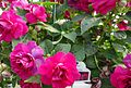 Great Swamp Greenhouse photos Double Impatiens Purple.JPG