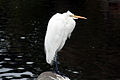 Great egret in ggp 1.jpg