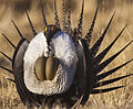 Greater Sage-Grouse Conservation (17174529957).jpg