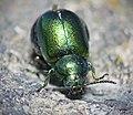 Green Dock Beetle - Gastrophysa viridula (17349468733).jpg