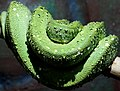 Green Snake on a branch.jpg