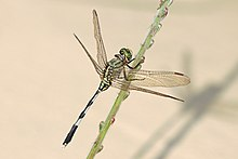 Green marsh hawk (Orthetrum sabina) female Nepalgunj.jpg