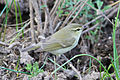 Greenish Warbler by Ron Knight.jpg