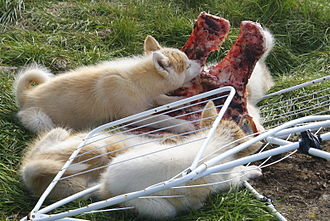 Greenland Dog - Puppies eating muskox scraps. Puppies in Greenland run free until they reach adulthood. They are subsequently chained and trained for work.