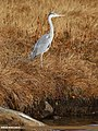 Grey Heron (Ardea cinerea) (46579141491).jpg