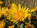 Grindelia squarrosa flower (3478841992).jpg