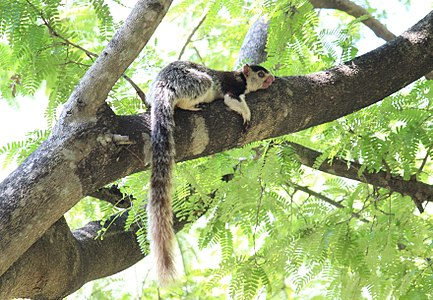 Grizzled sqirrel Chinnar WLS Kerala (68).jpg