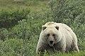 "Grizzly Bear (Ursus arctos horribilis) - Flickr - Gregory ""Slobirdr"" Smith.jpg"