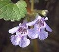 Ground-ivy (49845871362).jpg