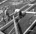 """Grušt na tleh pripravljajo. Žagajo """"štol?mberke"""" 1952.jpg"""