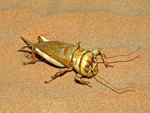 Brachytrupes - Brachytrupes megacephalus