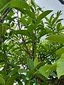 Guava Tree below the sky 02.jpg