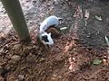 Guinea Pig - ഗിനി പന്നി 02.JPG
