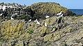 Gullery, Fidra - geograph.org.uk - 1368007.jpg