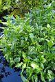 Gymnocoronis spilanthoides kz5.jpg
