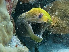 Undulate moray eel (Gymnothorax undulatus)