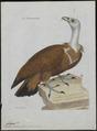 Gyps fulvus - 1790-1796 - Print - Iconographia Zoologica - Special Collections University of Amsterdam - UBA01 IZ18100063.tif