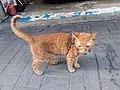HK 觀塘 Kwun Tong 偉業街 Wai Yip Street brown cat evening June 2019 SSG 04.jpg