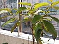 HK Mid-levels High Street clubhouse green leaves plant February 2019 SSG 68.jpg