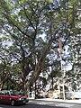 HK Sheung Wan Caine Road sidewalk Banyan tree Feb-2011.JPG