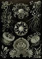 Haeckel Ascomycetes.jpg