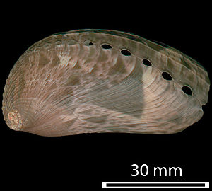 Whorl (mollusc) - Image: Haliotis asinina