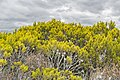 Halocarpus bidwillii in Rangipo Desert 03.jpg