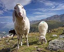 Hangerer - sheep 3.jpg