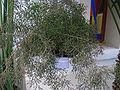 Hatiora salicomioides - JBM.jpg