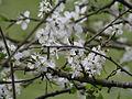 Hawthorn Blossom, Lyth Valley, Cumbria.JPG