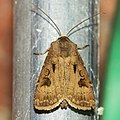 Heart & Dart - Agrotis exclamationis (35568546125).jpg