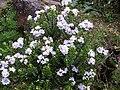 Hebe pauciramosa.jpg