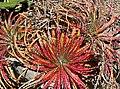 Hechtia texensis 1.jpg