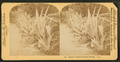 Hedge of Century plants. Florida, from Robert N. Dennis collection of stereoscopic views 2.png