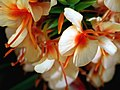 Hedychium carneum.jpg