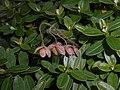 Helianthemum nummularium subsp. tomentosum 2017-09-26 4908.jpg