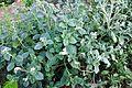 Heliotropium europaeum Caterpillar Weed ჰელიოტროპი.jpg