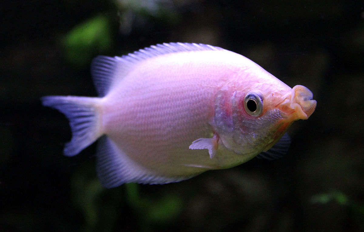 kissing gourami wikipedia